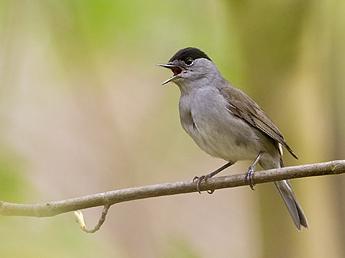 Pipit for Oiseau tete noire