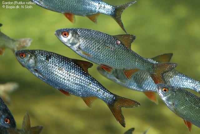 Poissons les plus communs et les plus répandus dans les lacs et les
